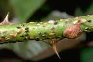 European fruit lecanium nymphs.