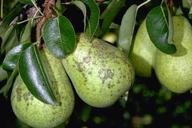 Pear psylla damage
