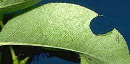 ypical leaf damage caused by larva