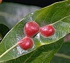 Galls of willow leaf gall sawfly