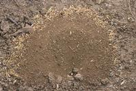 California harvester ant nest