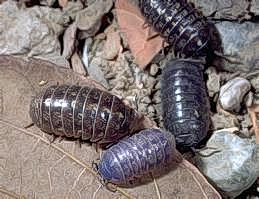 Adult pillbugs