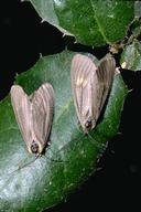 Male (bottom) and female California oakworm moths.