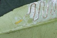 Citrus leaf with citrus leafminer larva, Phyllocnistis citrella, and its excrement-filled tunnel.
