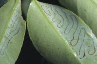 Citrus leaves with citrus leafminer larvae, Phyllocnistis citrella, and excrement-filled tunnels.