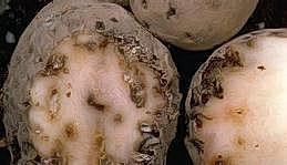 Tuber damage in potatoes
