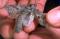 Carpenterworm female wings spread to show gray and white hind wings.