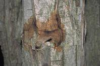 Weeping, oozing, wet, discolored walnut trunk with brownish fras exudate from carpenterworm larvae.