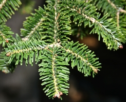 Foliage of fir tree