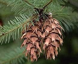Cones of Douglas fir