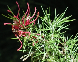 Foliage and flower of grevillea