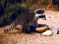 Juvenile raccoon.