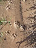 Raccoon tracks.