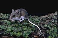 Adult deer mouse. Note the large ears and eyes and the white underside of the body and tail�all distinguishing characteristics between the deer mouse and house mouse.