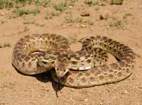 A gopher snake (Pituophis catenifer).
