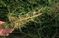 Kikuyugrass stolon showing roots at nodes.