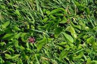 To identify broadleaf weeds in turf use the identification key.