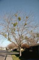 Large-leaf mistletoes are evergreen as seen in this deciduous tree.