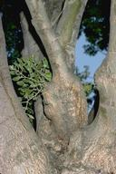 Swollen limb or gall caused by mistletoe infesting ash trunk.