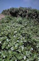 Infestation of purslane, Portulaca oleracea.