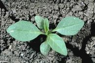 Groundcherry  				seedling.