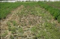Phytophthora root rot infection can devastate large areas of a fields.