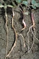 Seedling on left is healthy; seedlings on right show various degrees of seedling disease.