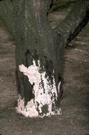 White fungal growth at the base of a tree is usually the first indication of Oxyporus wood rot.