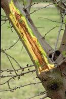 Bacterial canker infection on tree limb.