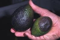 Phytophthora fruit rot: black circular area on an avocado fruit caused by Phytophthora cinnamomi, identical to symptoms commonly caused by P. citricola.