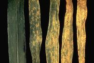 Rust pustules on corn leaves.