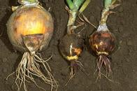 Healthy bulb (left) and bulbs stunted by pink root.
