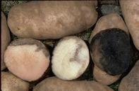 Pink rot symptoms in freshly cut tuber (center), after half an hour (left), and after an hour (right).