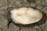 Tuber tissue rotted by Pythium has black margins and may be pink when first cut, turning gray and finally black with exposure to air.