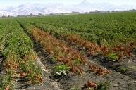 A pepper field infected with Phytophthora root rot.