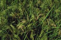 Field close up of rice panicles damaged by rice blast, Pyricularia grisea.
