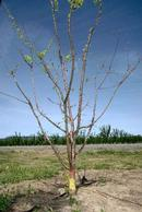 Apricot tree killed by bacterial canker.