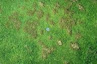 Pythium grease spot damaged spots surrounded by healthy grass in annual bluegrass turf.