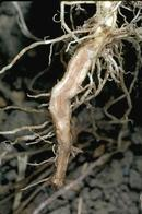 Phytophthora root rot may cause the xylem tissue of affected roots to turn yellow or brown.