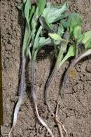 The tap root and lower stem are shriveled and darkened in seedlings affected by damping-off (right).