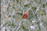 Adult European red mite.