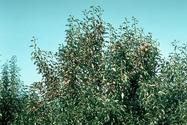 Pear foliage damaged by a heavy infestation of European red mite, Panonychus ulmi.
