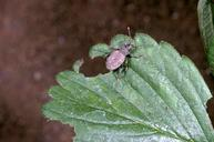 Fuller rose weevil and feeding damage on strawberry leaf.