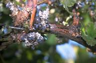 Vine mealybug, Planococcus ficus, honeydew and white wax on infested grapevine after mechanical harvest.