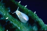Bayberry whitefly with eggs.