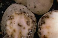 Black tunnels and feeding damage from potato tuberworm.