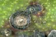 Mature female San Jose scale.