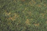 Patches of tall fescue turfgrass infected with Rhizoctonia blight.