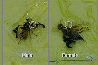 Distinguishing male from female, walnut husk fly