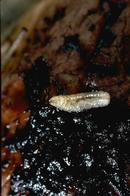 Figure 2. Walnut husk fly larva feeding beneath the skin of a walnut husk.